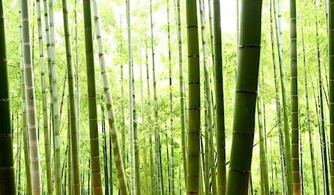 Bamboo at Fushimi Inari Shrine