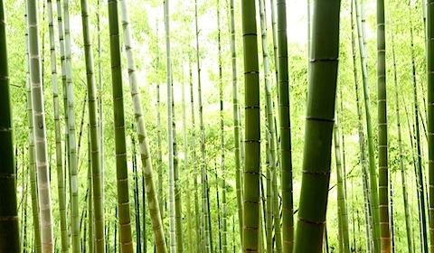 Bamboo at Fushimi Inari Shrine