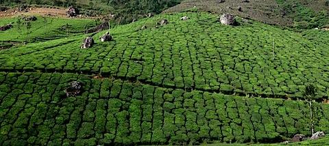 Tea plantation between Munnar and Thekkady