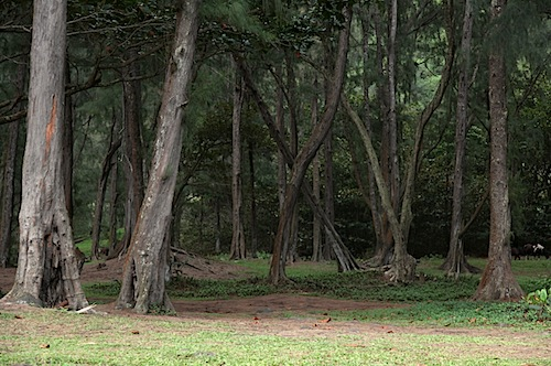 Trees near beach at Waipio