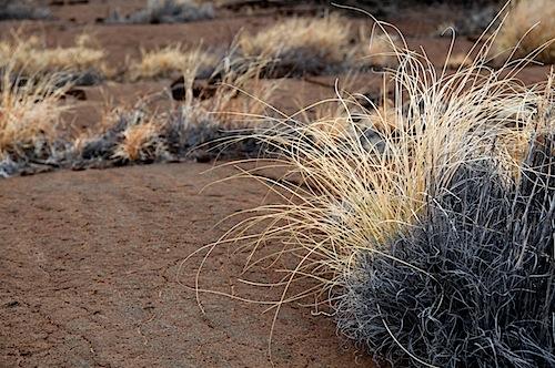 Arid Grass
