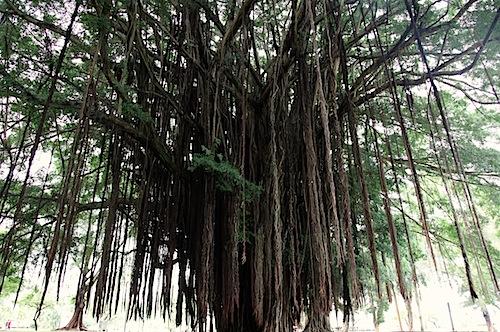 Tree at Liliuokalani Garden