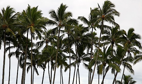 Palm Trees in Hilo