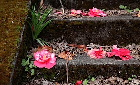Fallen camellia blossom