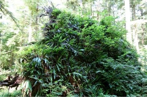 Ferns on Fallen Tree near Cheewat Giant
