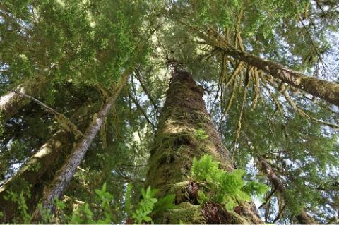 Massive Tree in Carmanah Walbran