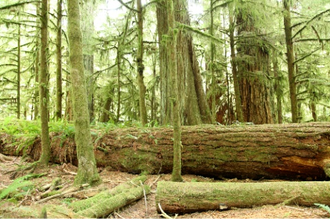Trees at Cathedral Grove